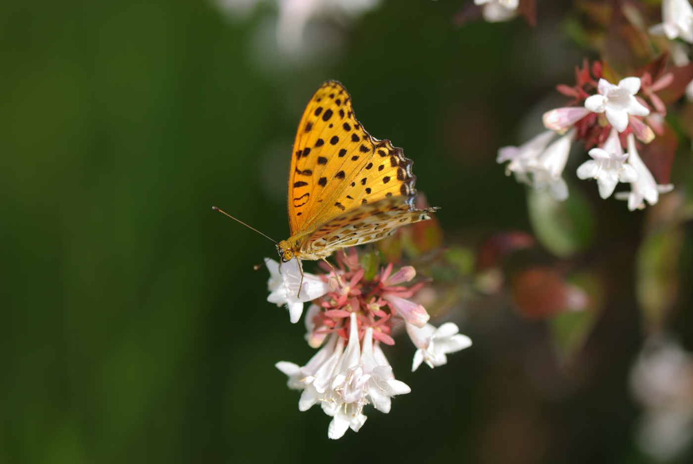 蜜に夢中の蝶です