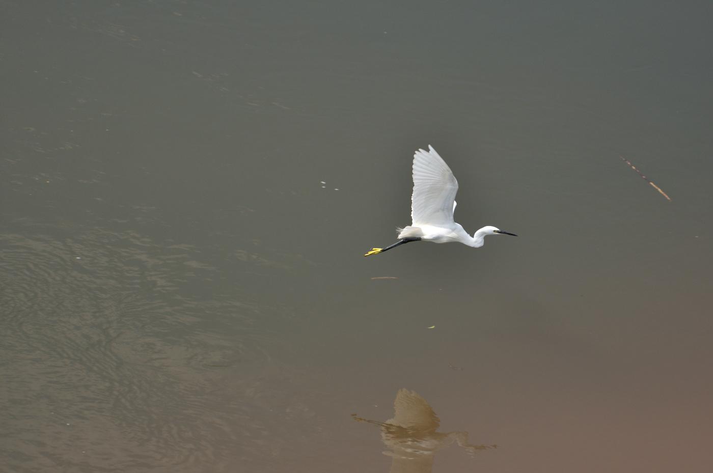 低空で飛ぶ白サギだじぇ