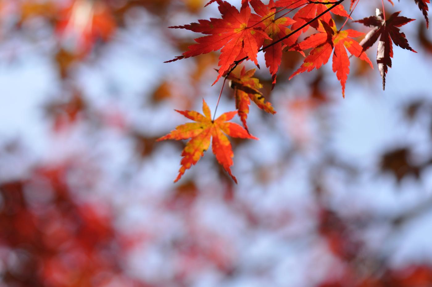 斑模様の紅葉