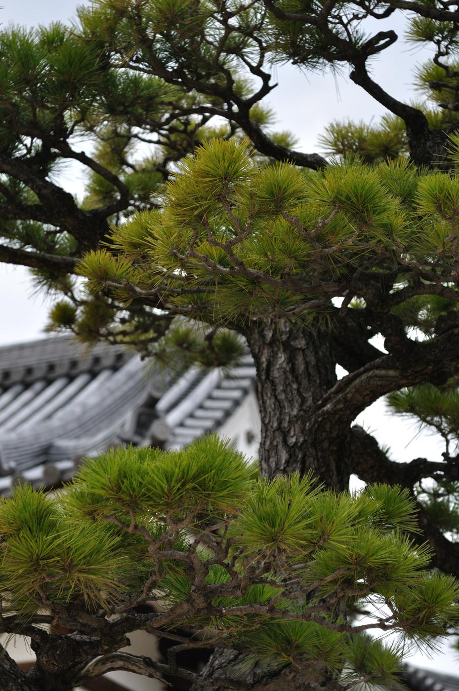 広島城付近の松