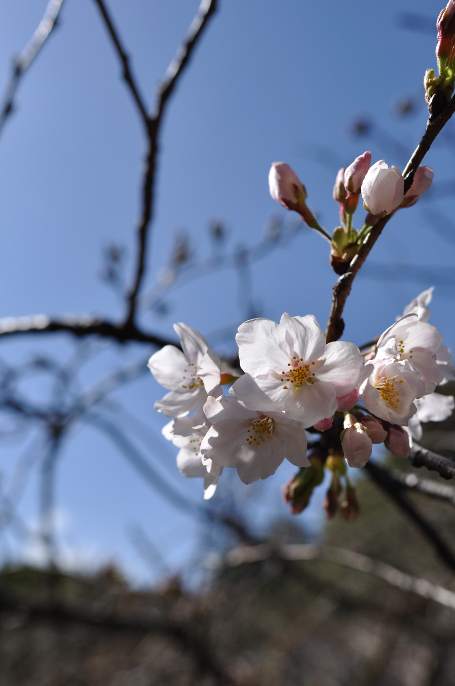 ぼちぼち桜の季節
