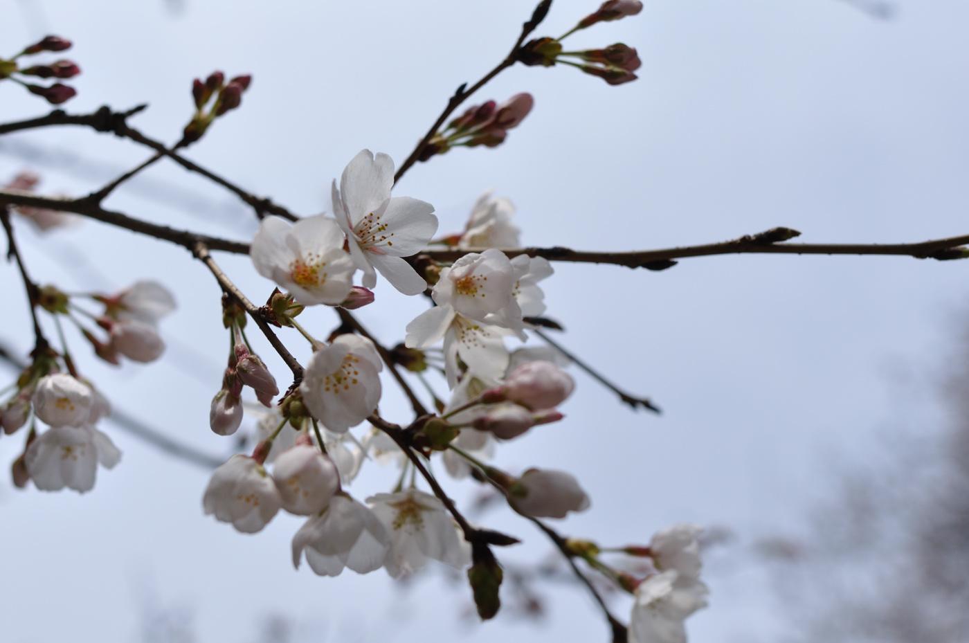 先週の桜その1