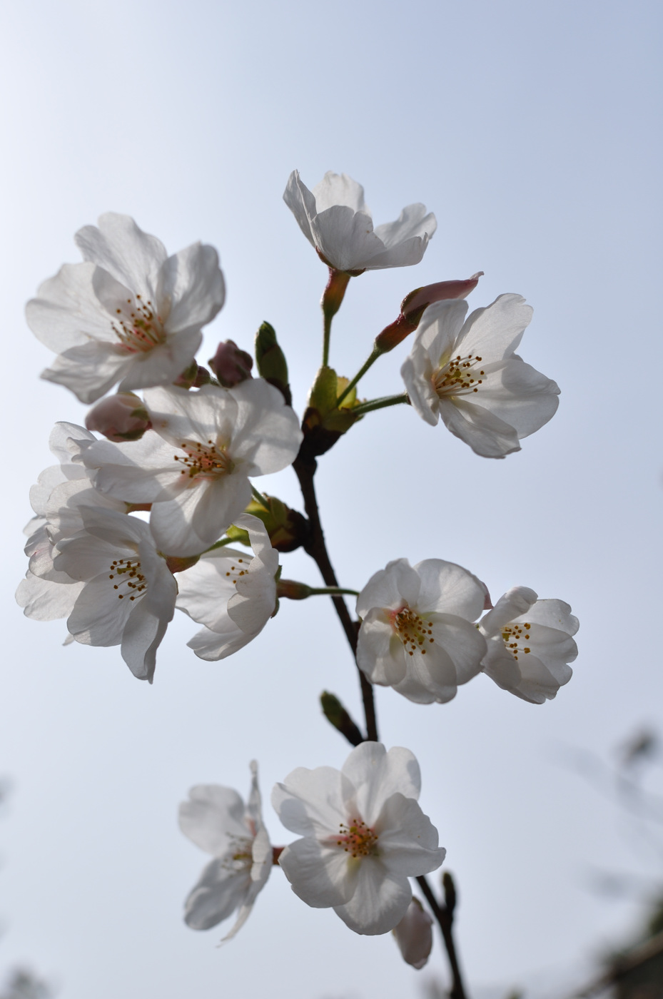 先週の桜その2