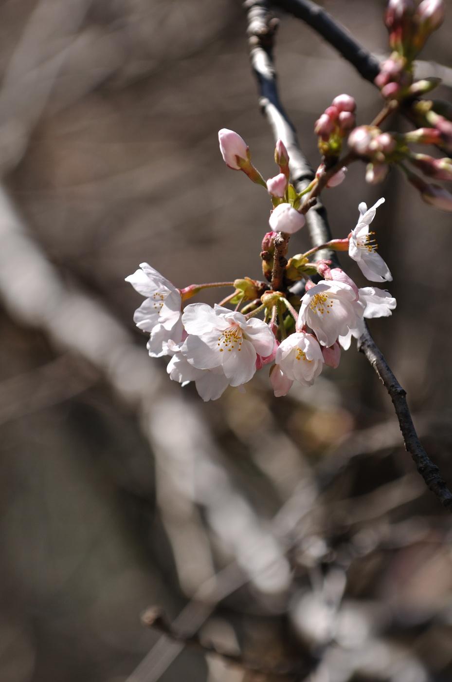 望遠で桜その1