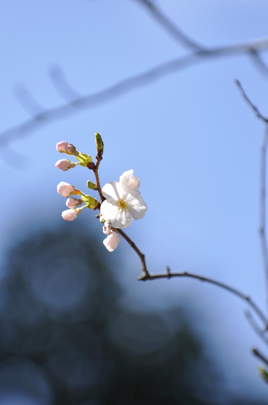 望遠で桜その2