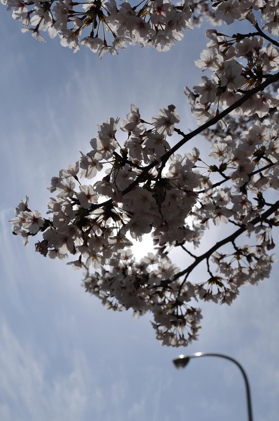 逆光桜さんパート2