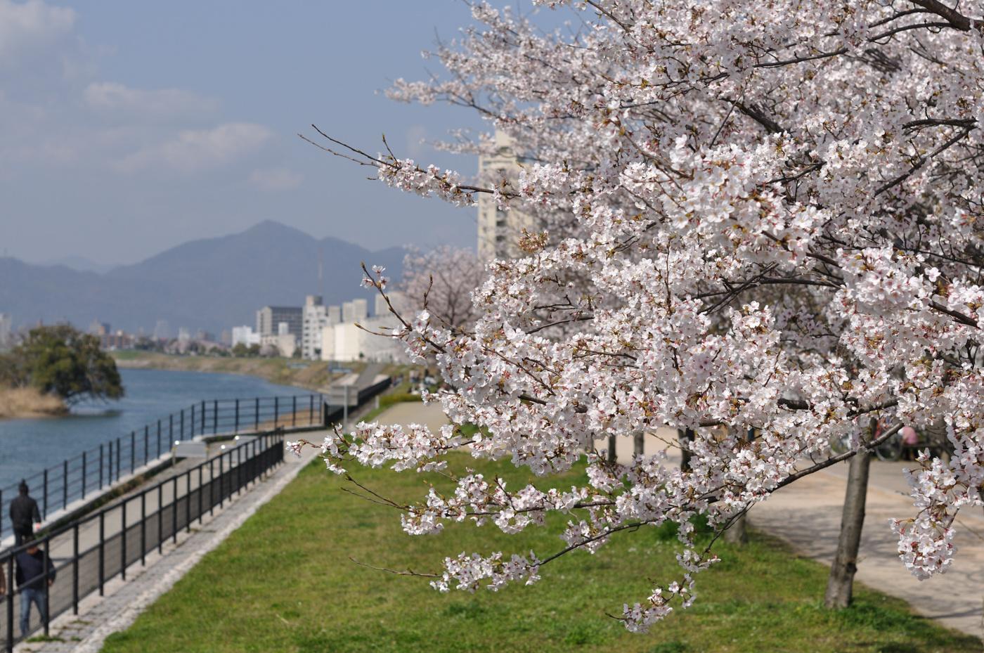 中望遠な桜