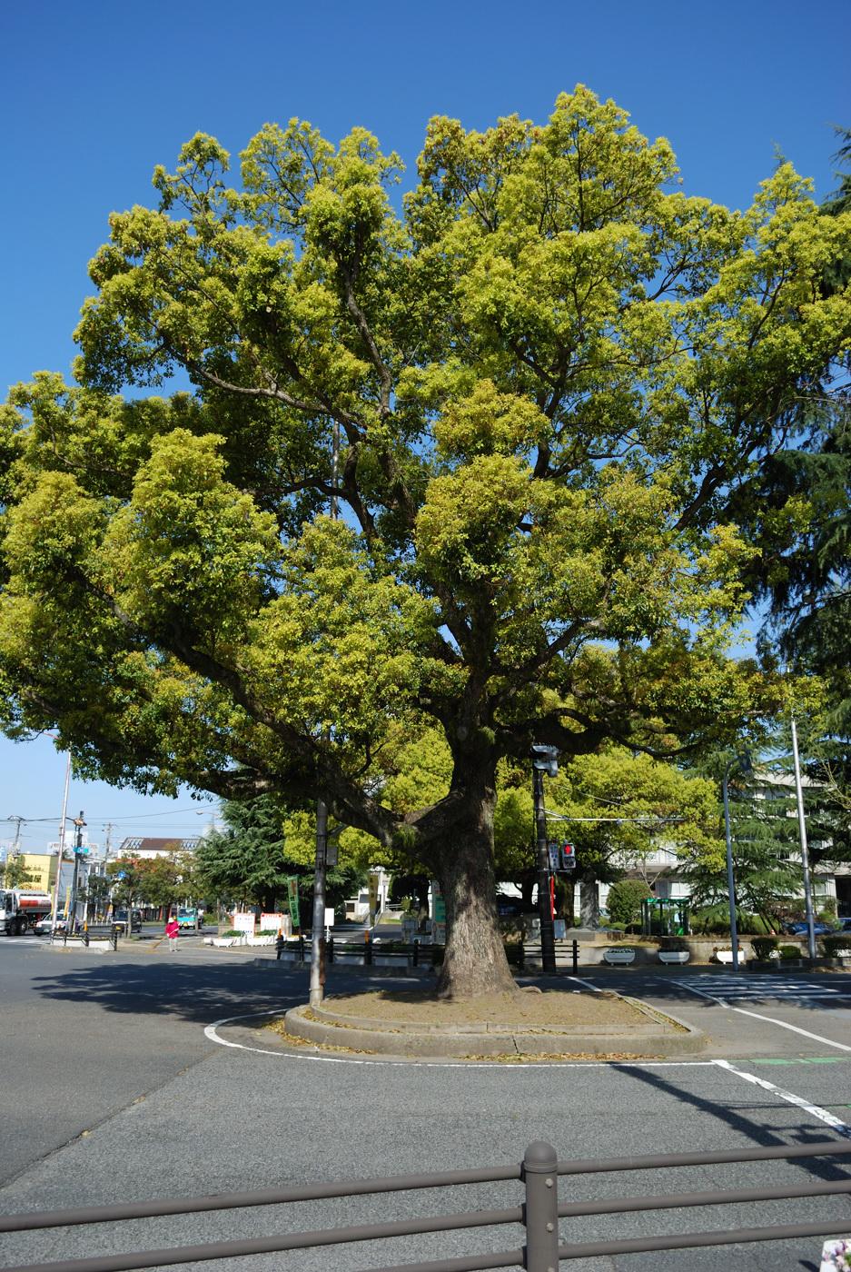 市役所の前のでっかい木