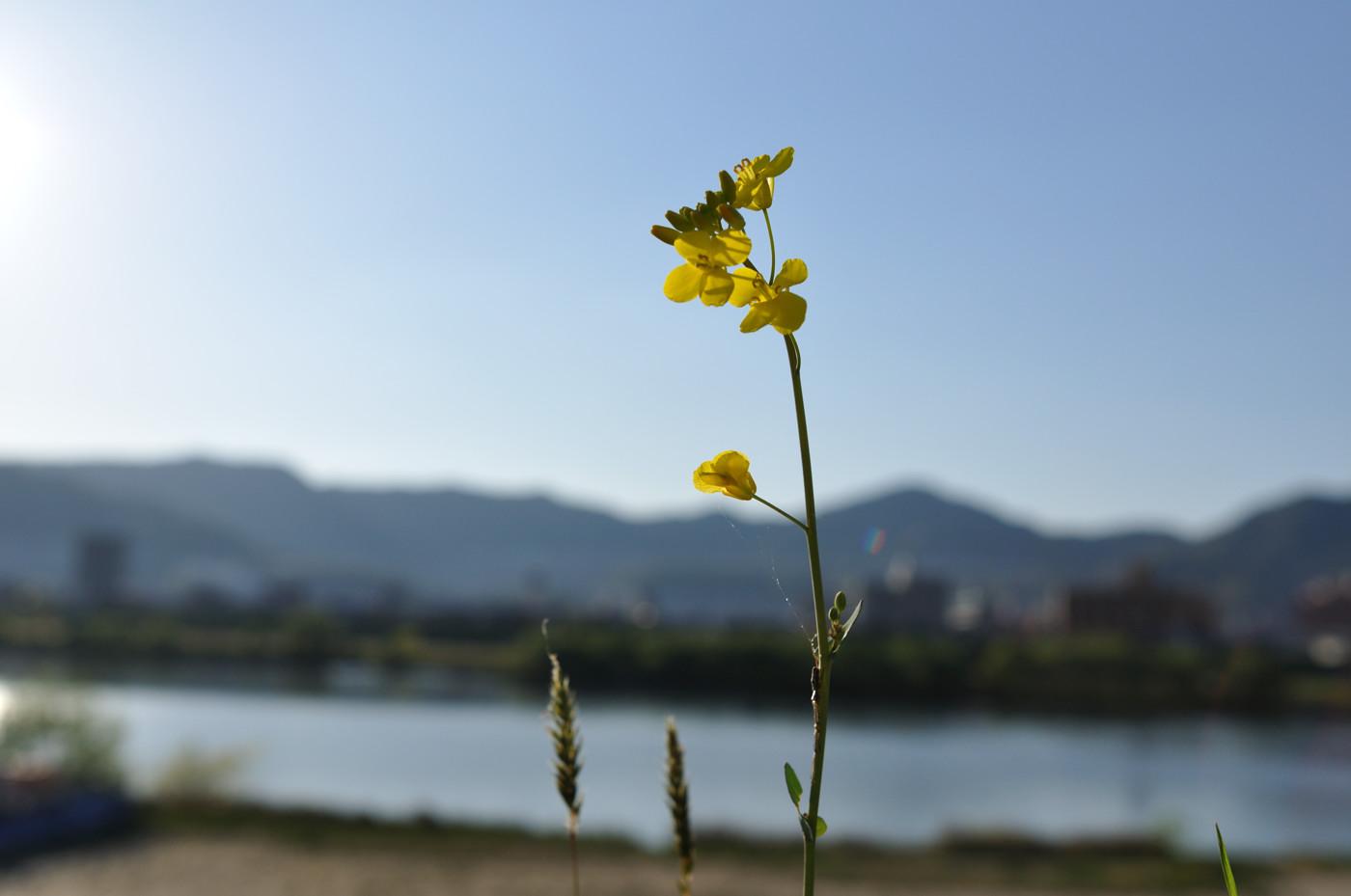 逆光で黄色い花