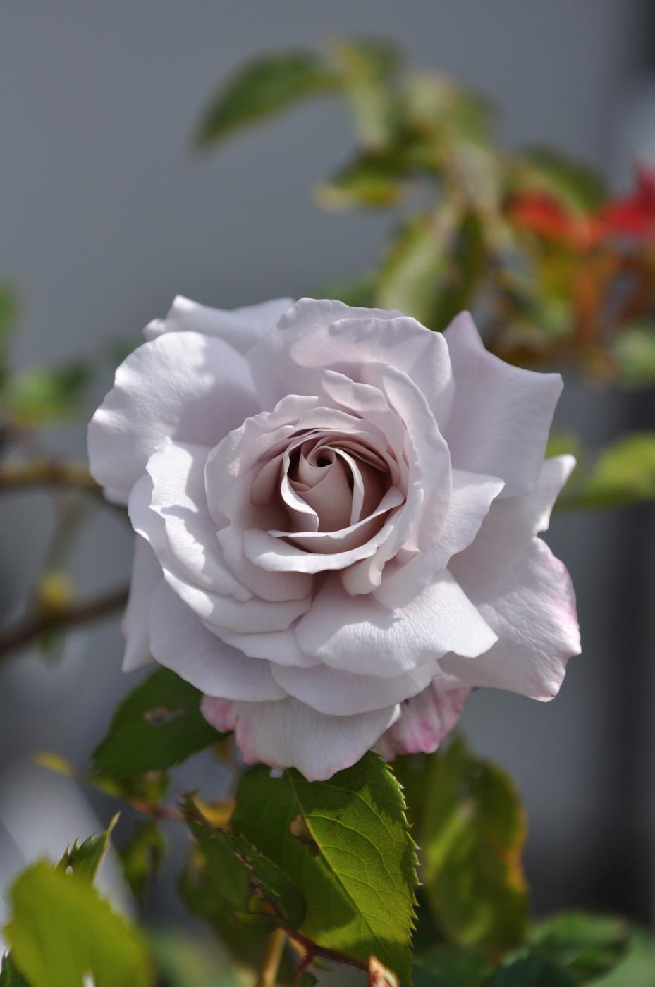 我が家のバラその1
