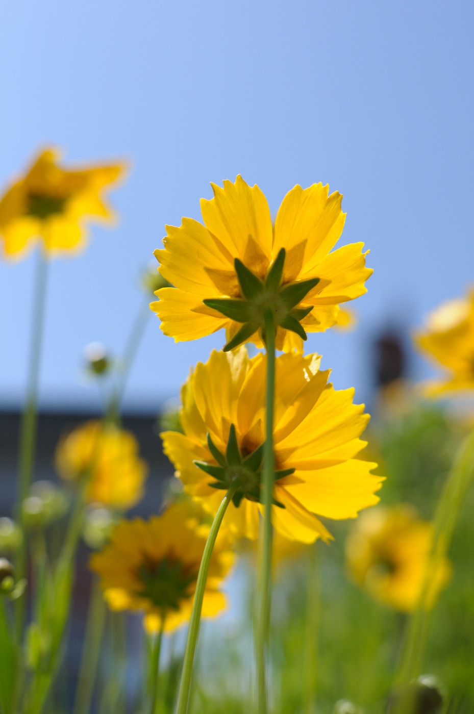 黄色い花を裏から~