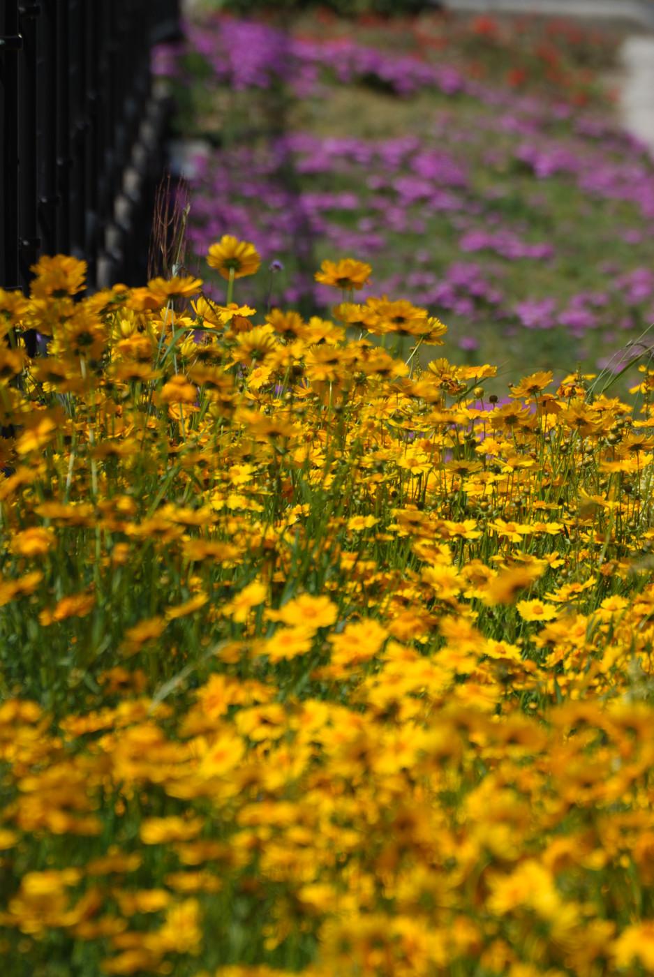 黄色い花が群れてます