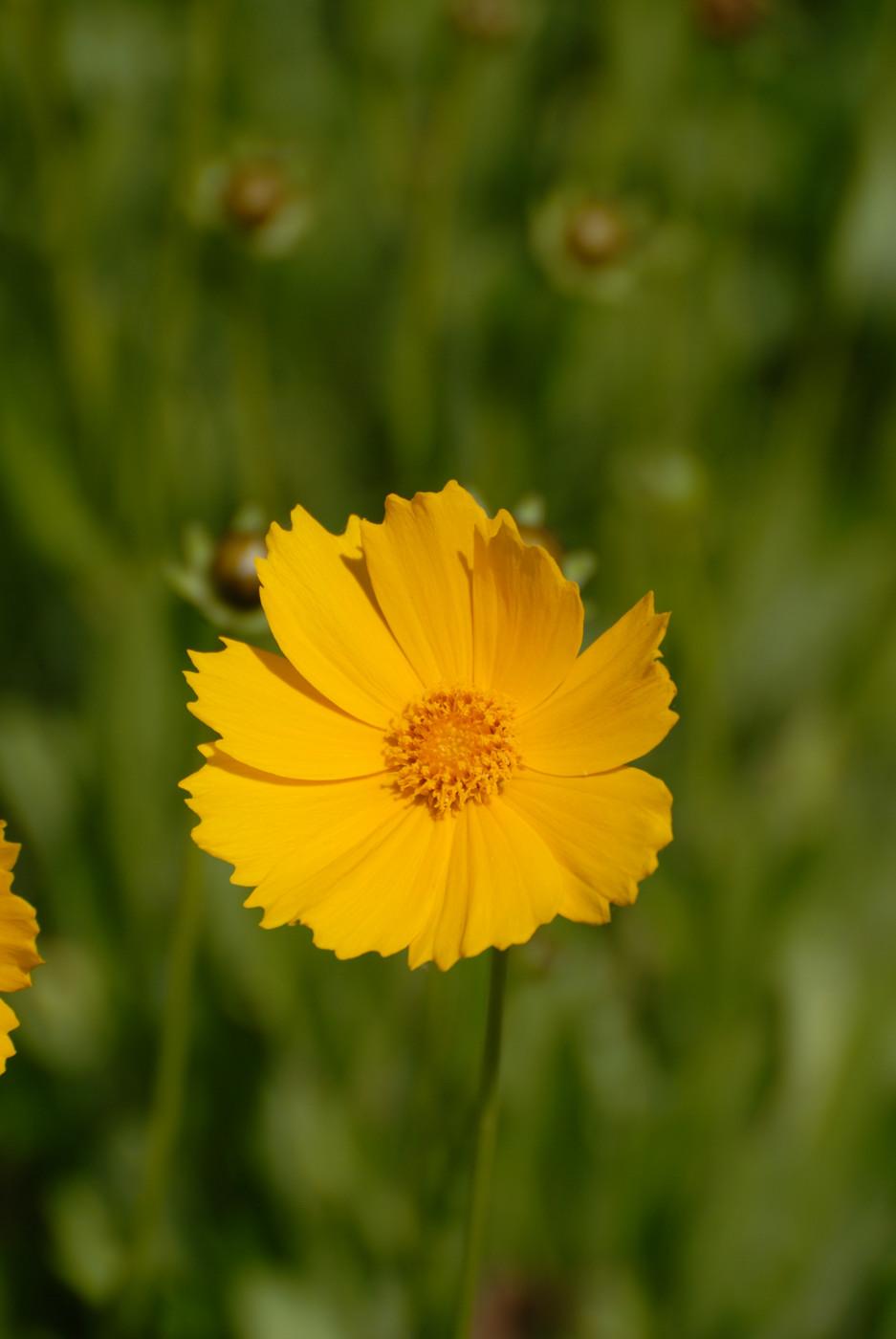 黄色い花を大きく