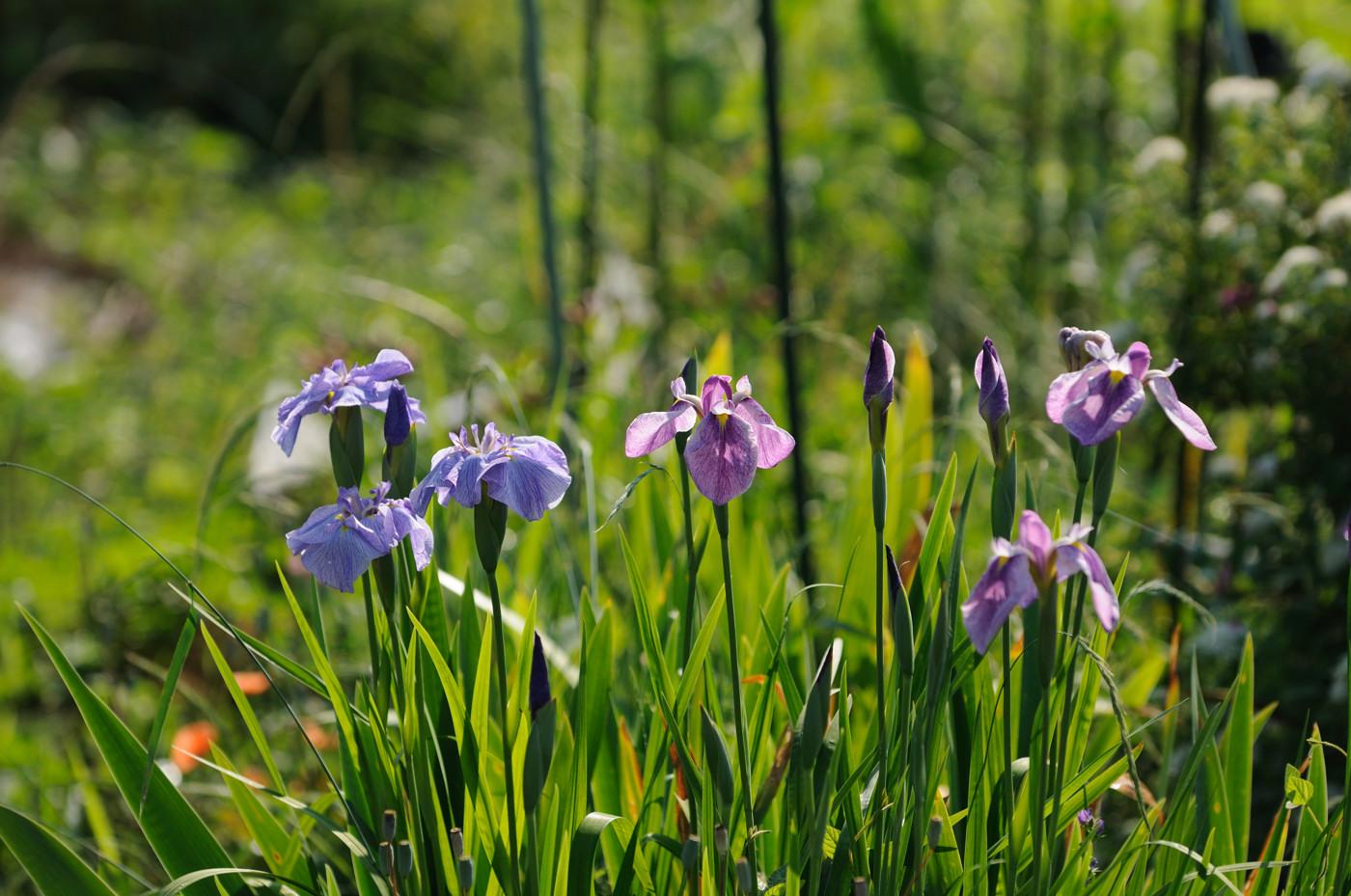 畑の近くのお花その2