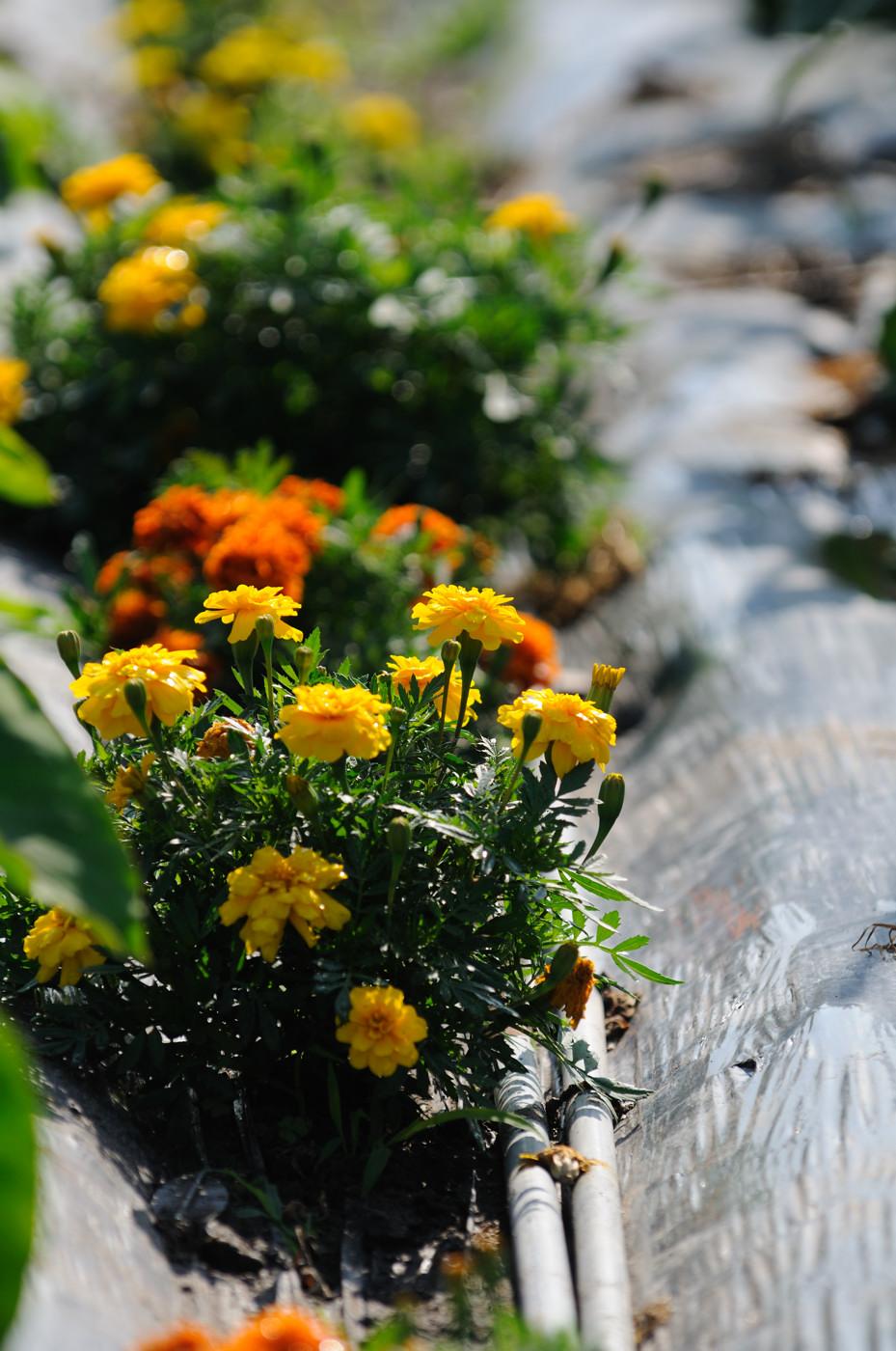 畑の近くのお花その3