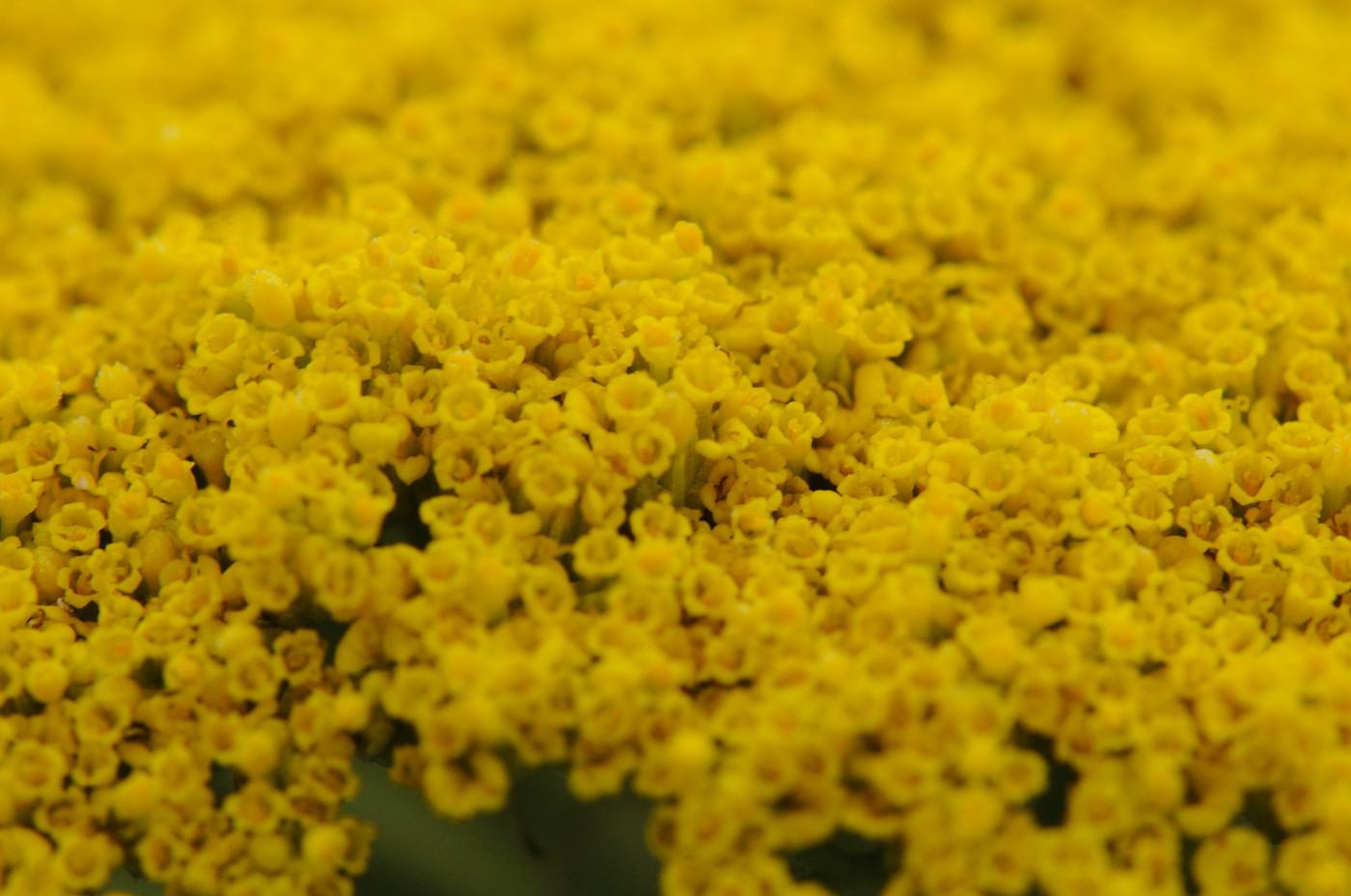 黄色いつぶつぶにマクロパワー全開!