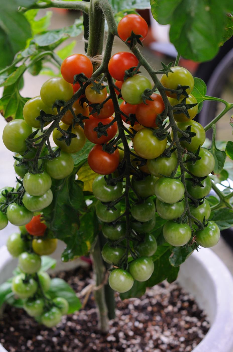 ぶどうのようなトマト!その2