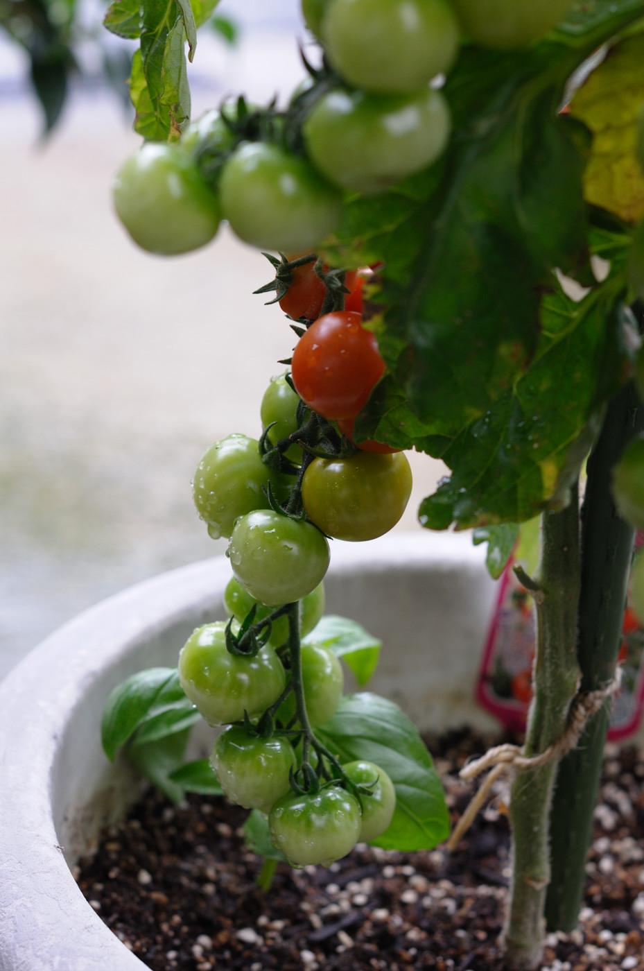 ぶどうのようなトマト!その3
