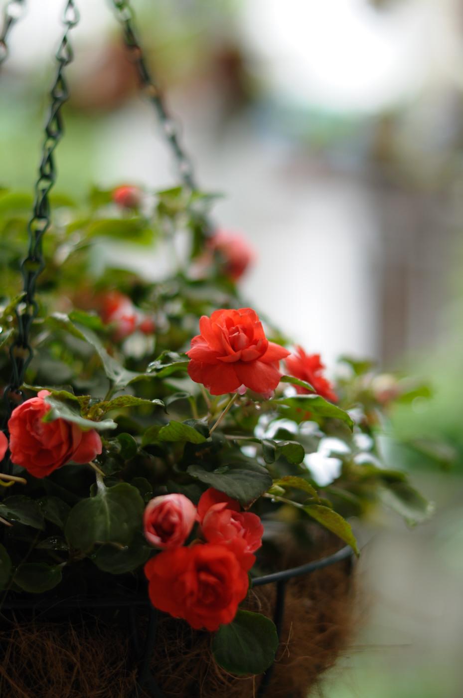 庭の赤いお花