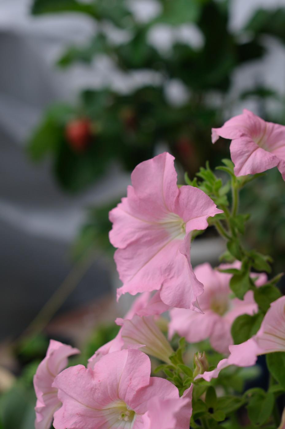 庭のピンクなお花