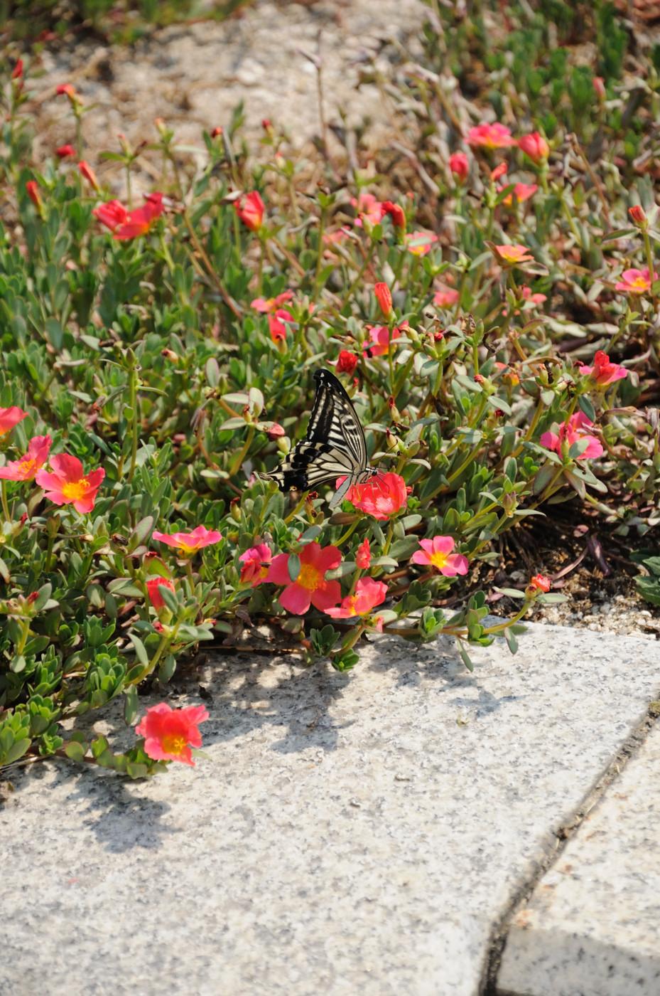 花に止まってるナミアゲハ