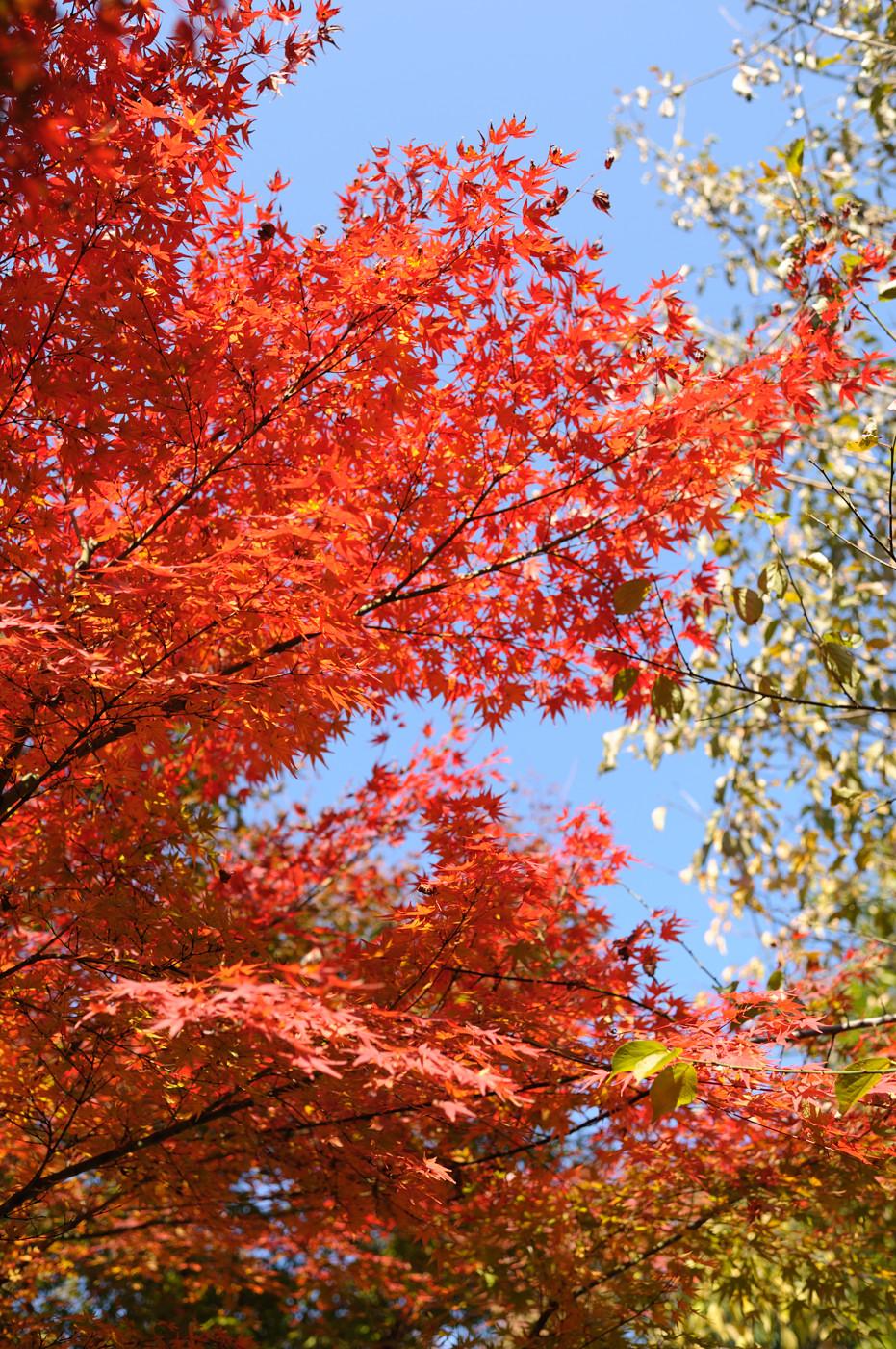 近所の紅葉その1でゲソ