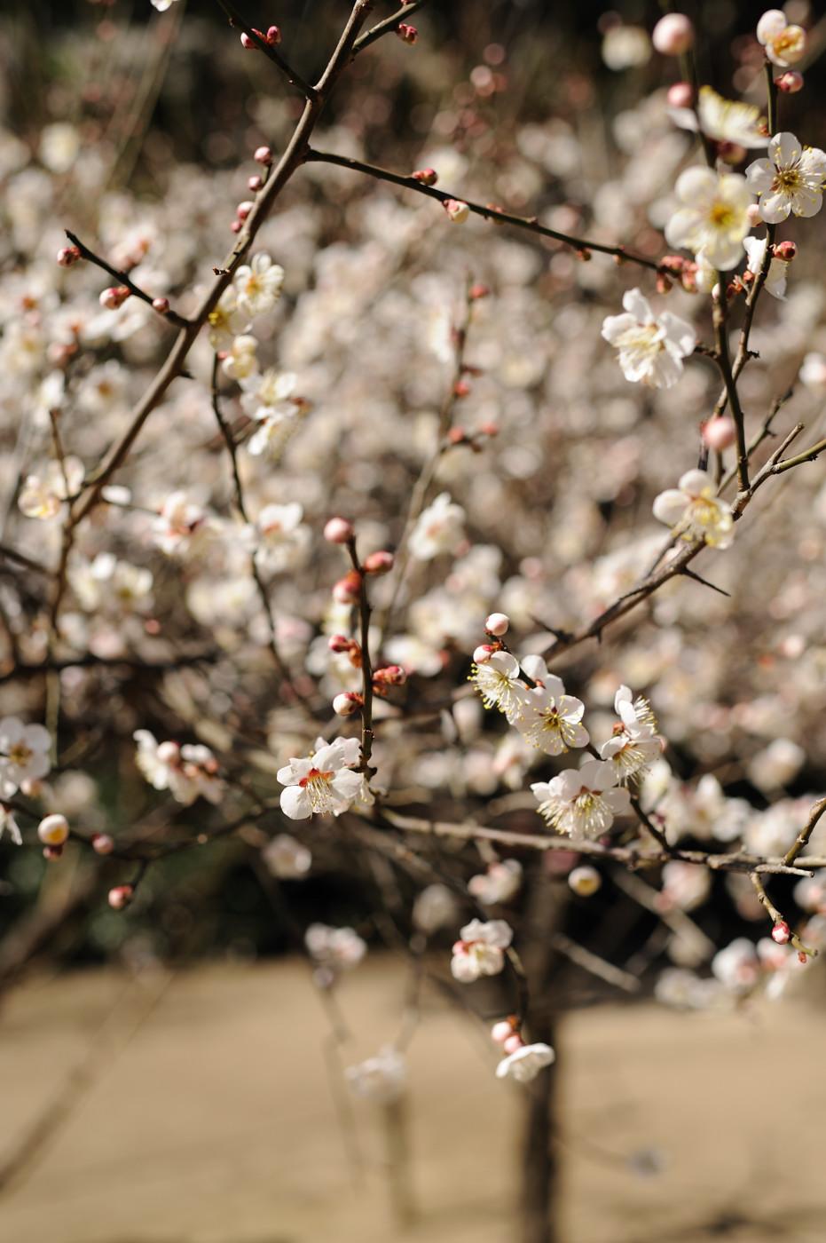 たくさんの梅でゲソ