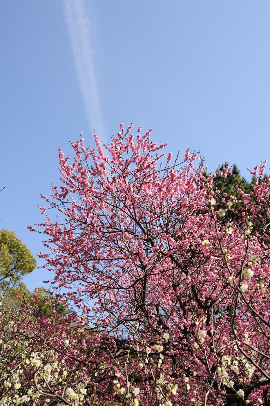 ピンクの梅と飛行機雲でゲソ