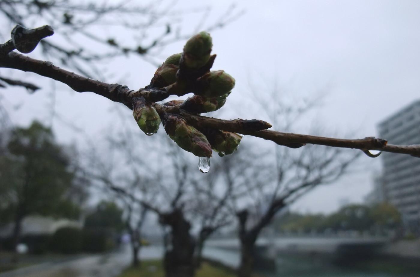 桜が閉じてるでゲソ
