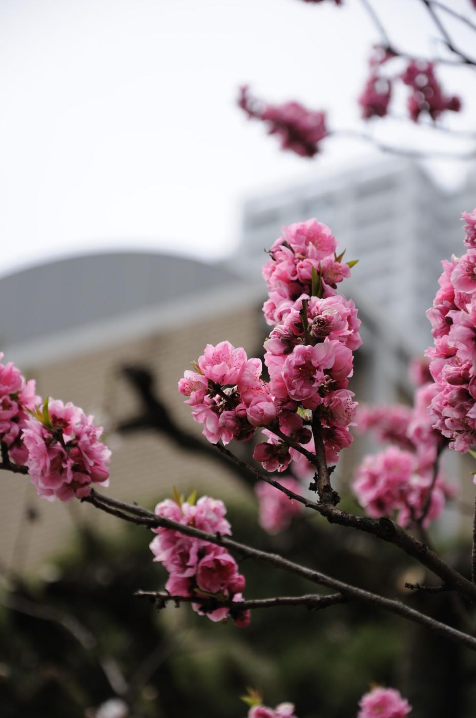 デジタルなピンクの桃でゲソ