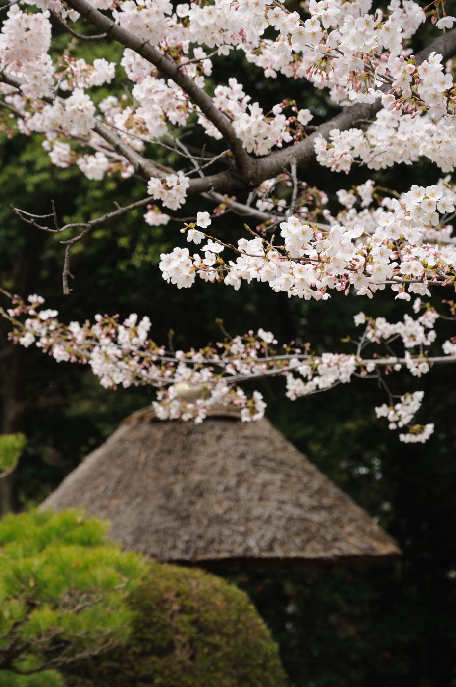 デジタルで桜ときのこでゲソ