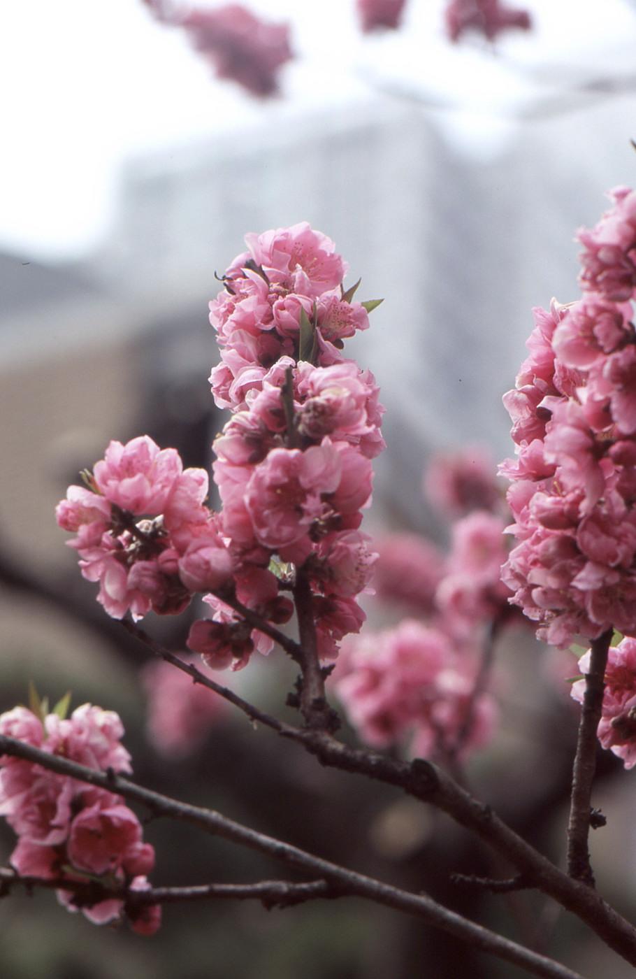 ピンクの桃でゲソ