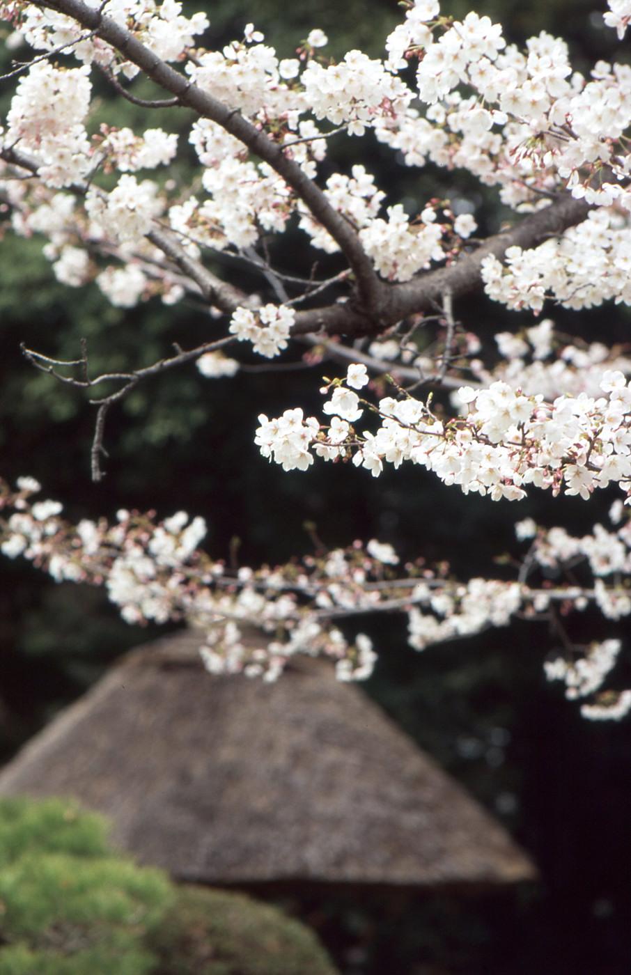 桜ときのこでゲソ