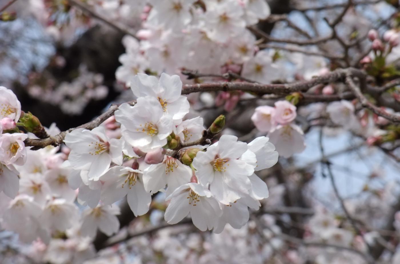 順光の桜でゲソ