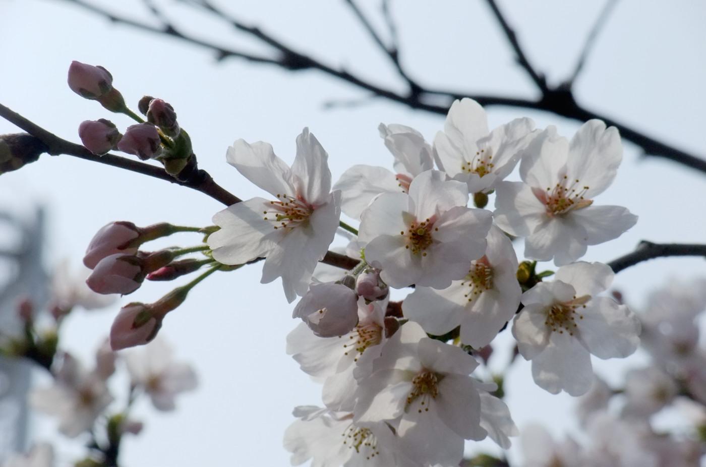 逆光気味の桜でゲソ