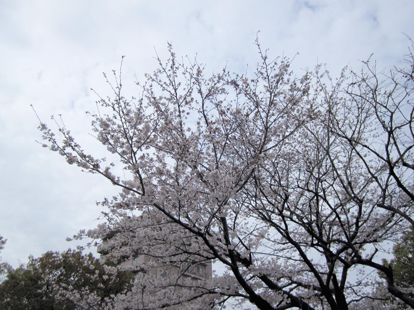 桜満開でゲソ