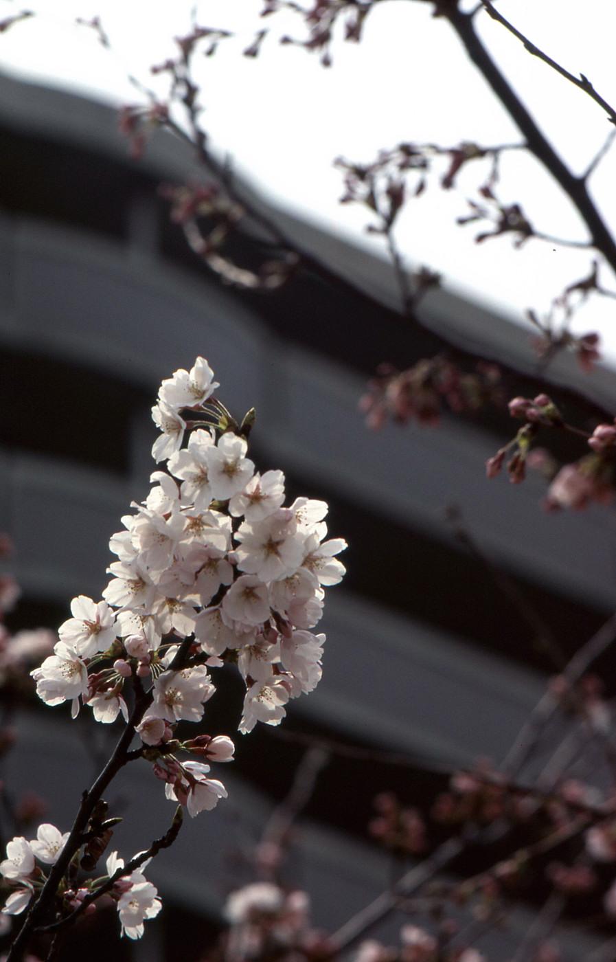 アスティアで桜でゲソ