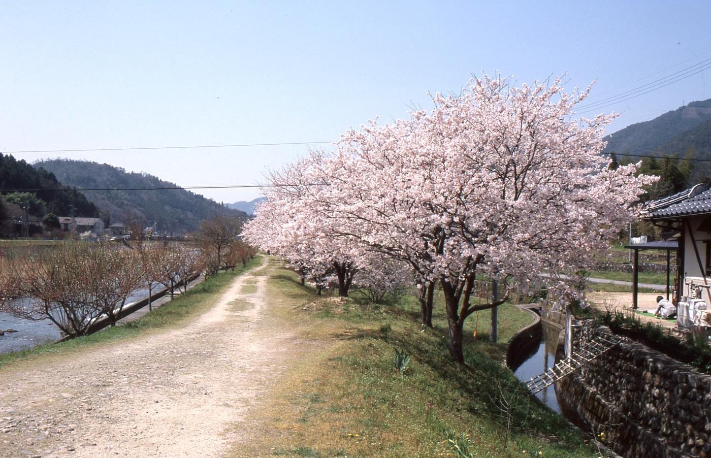 川沿いの桜でゲソ