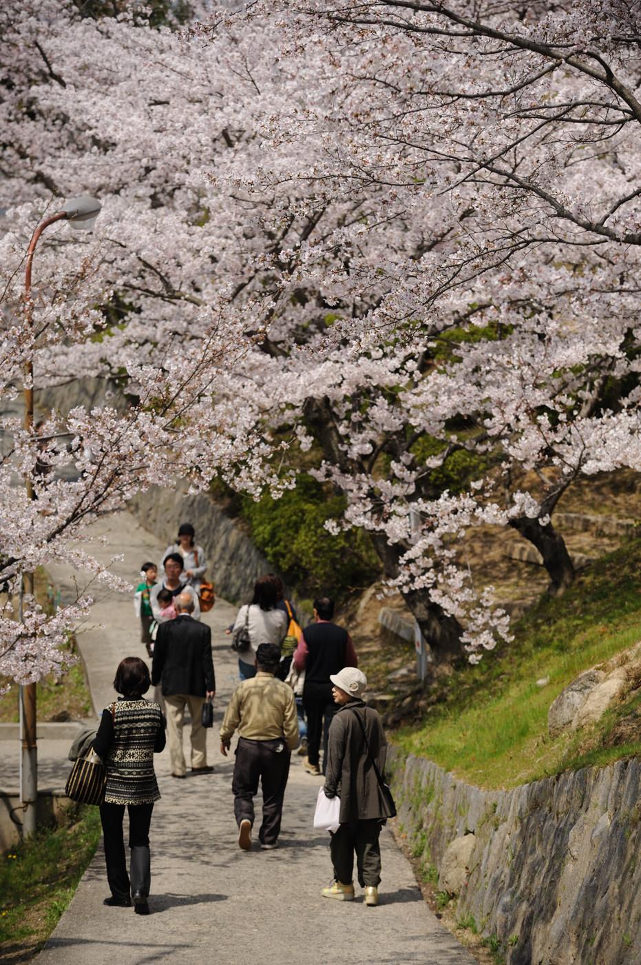 桜の下を歩くでゲソ