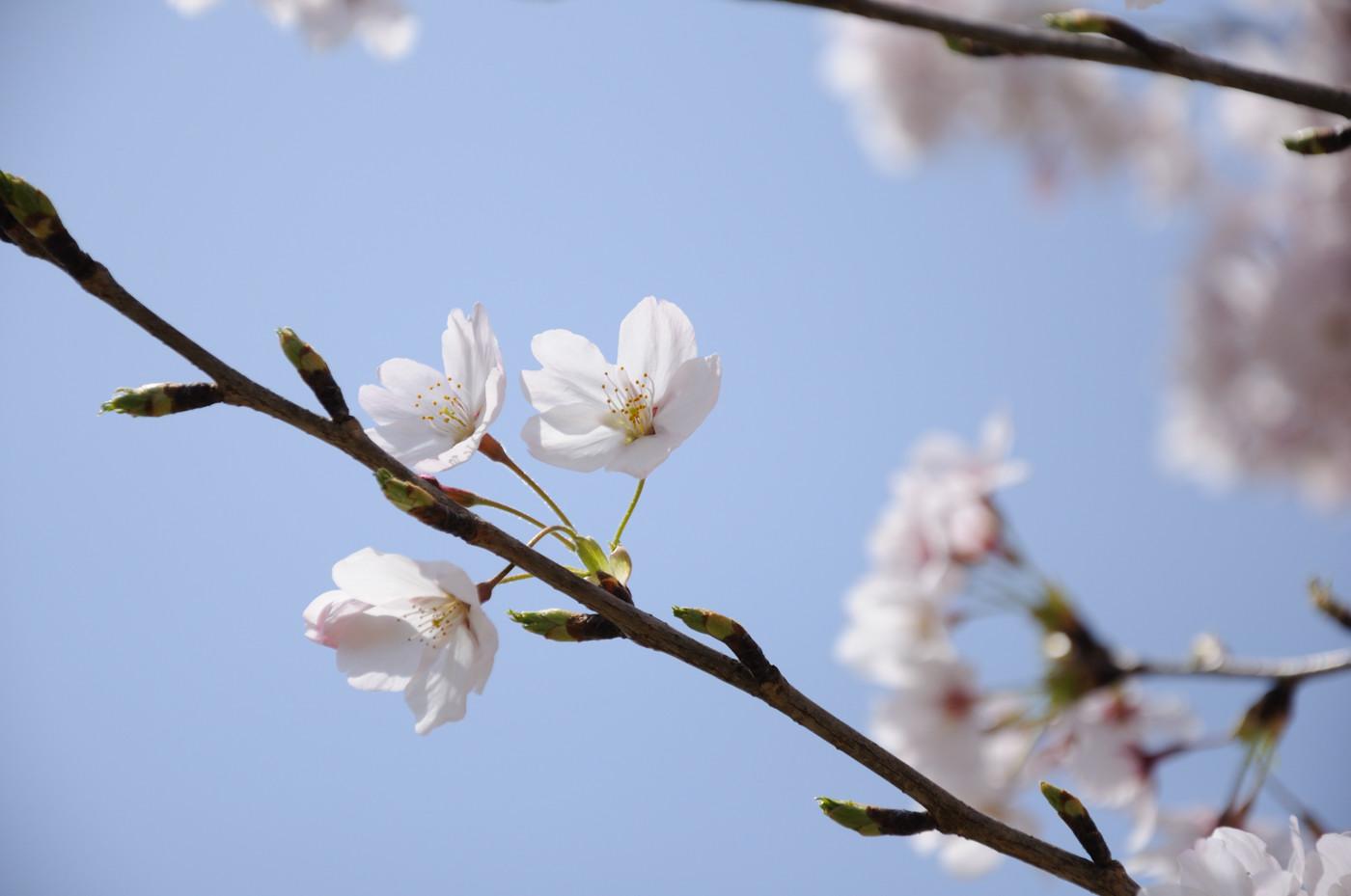 大きめに桜でゲソ