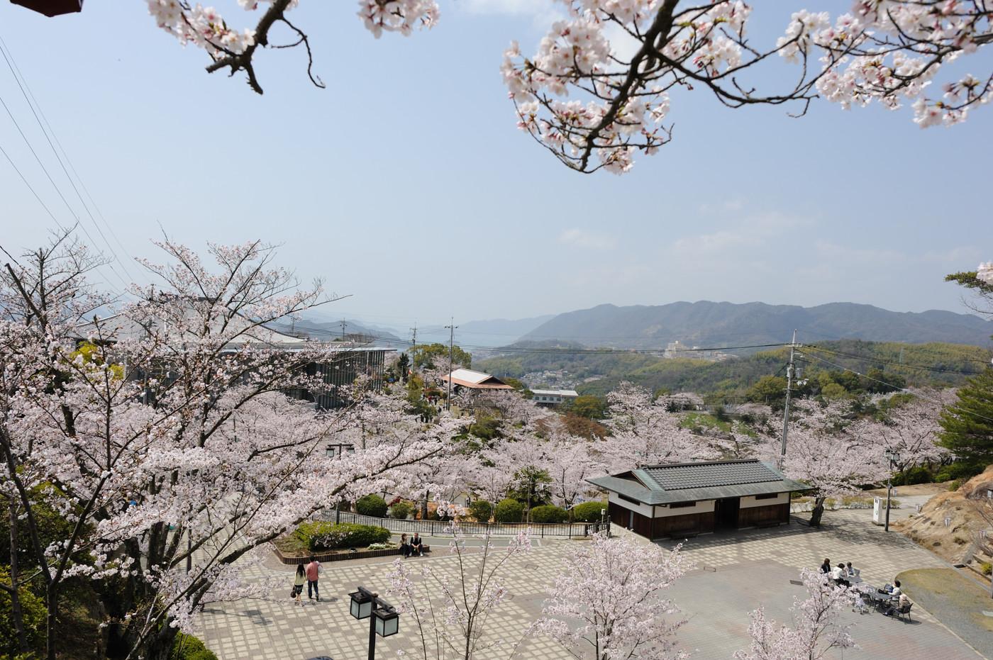 広く桜でゲソ