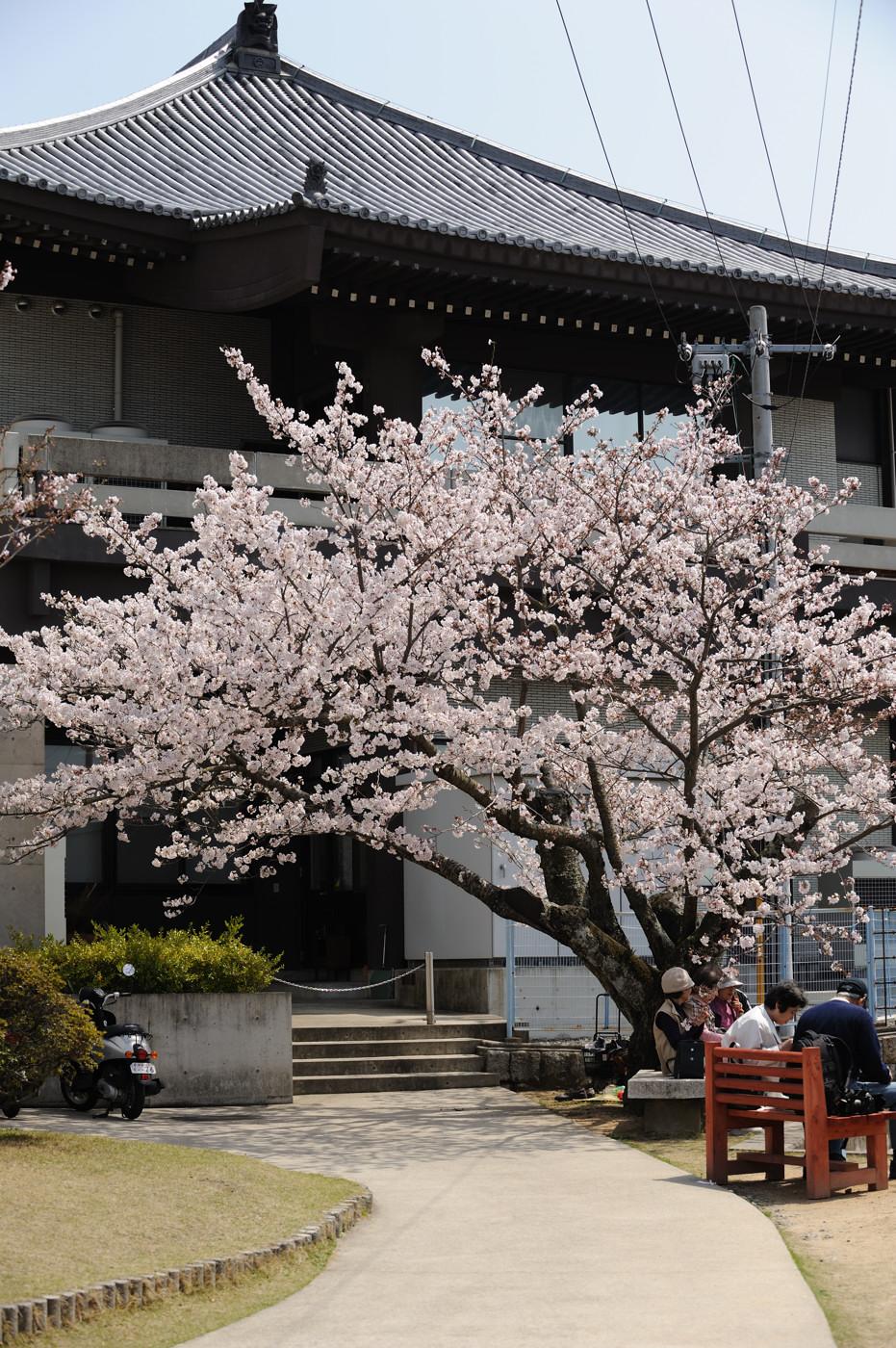 桜の元ででゲソ