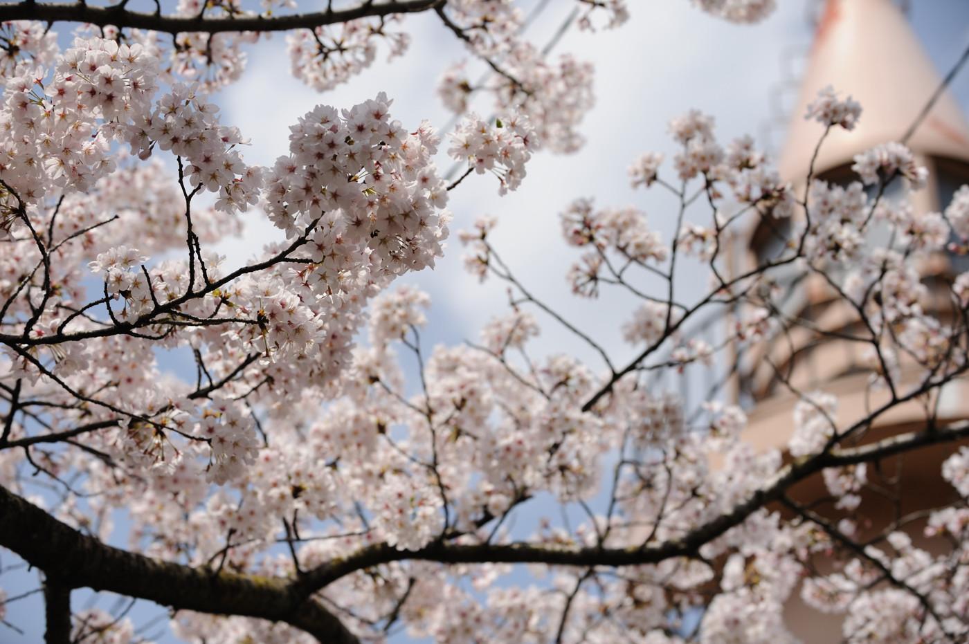 桜とサルタワーでゲソ