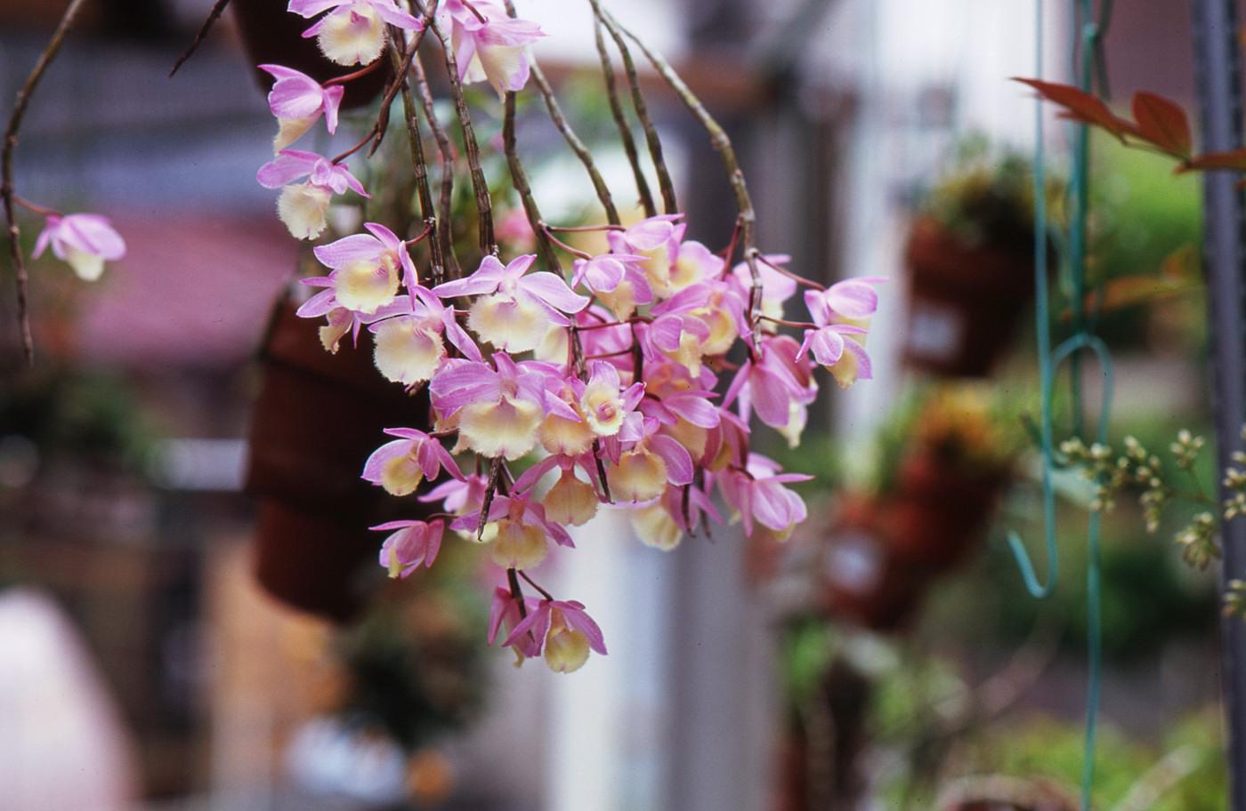 我が家のピンクのお花その1でゲソ