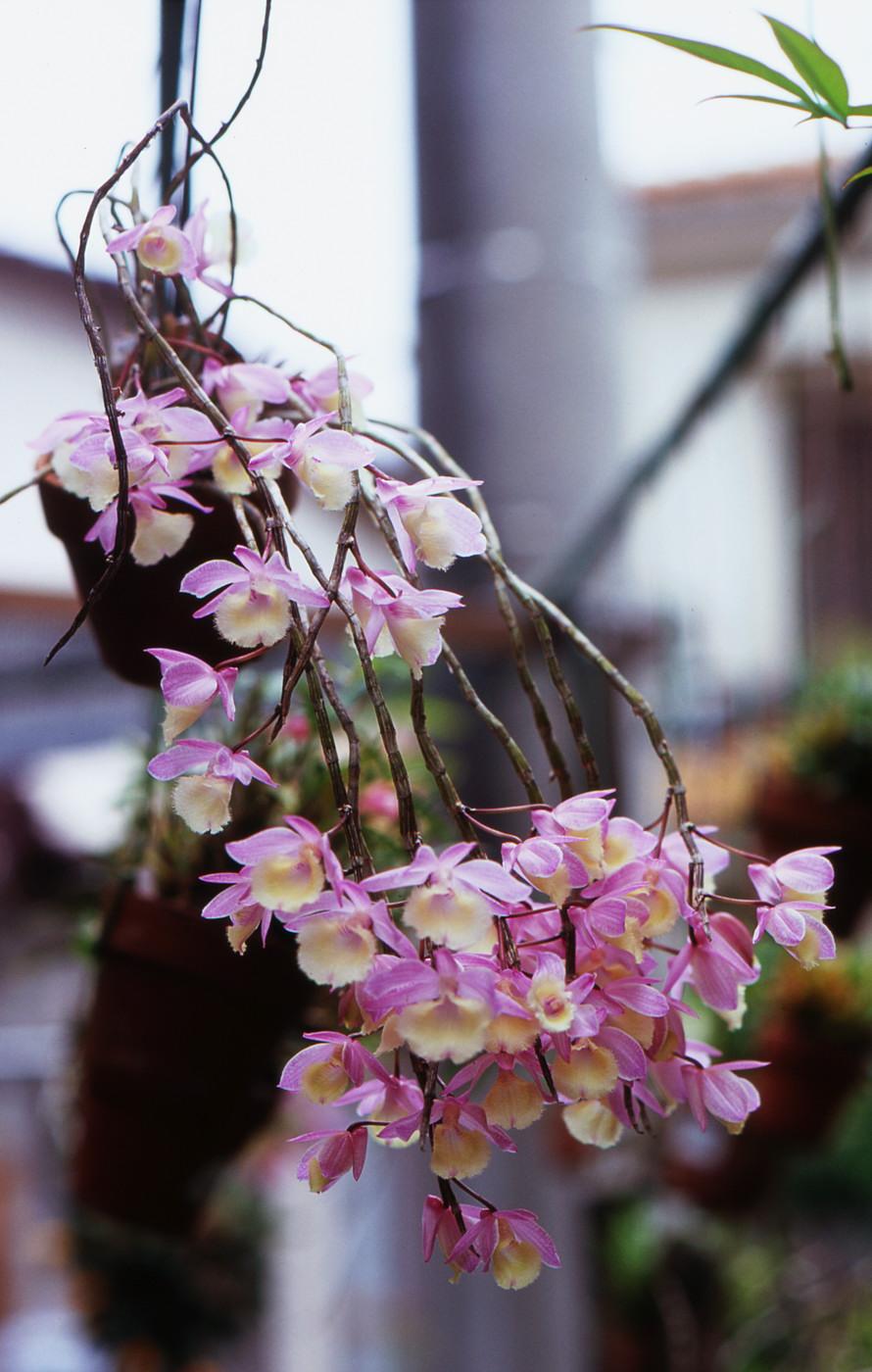 我が家のピンクのお花その2でゲソ