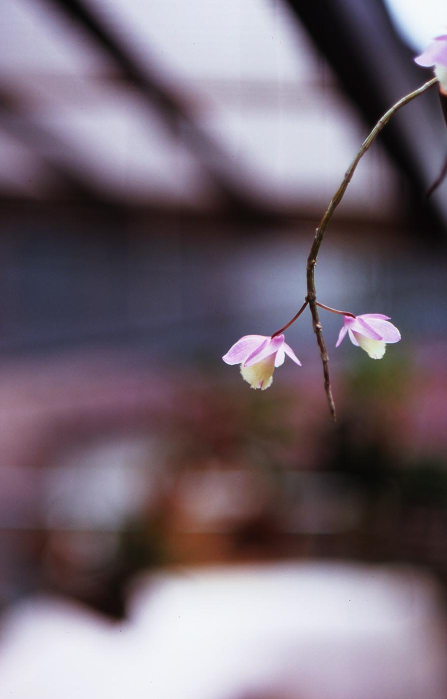 我が家のピンクのお花その3でゲソ