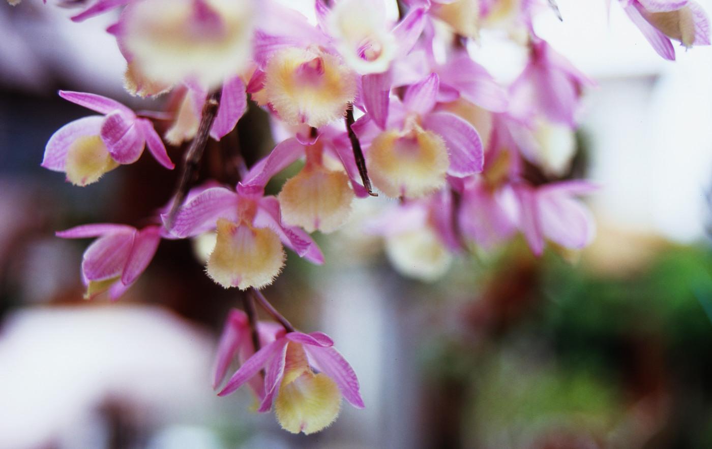 我が家のピンクのお花その4でゲソ