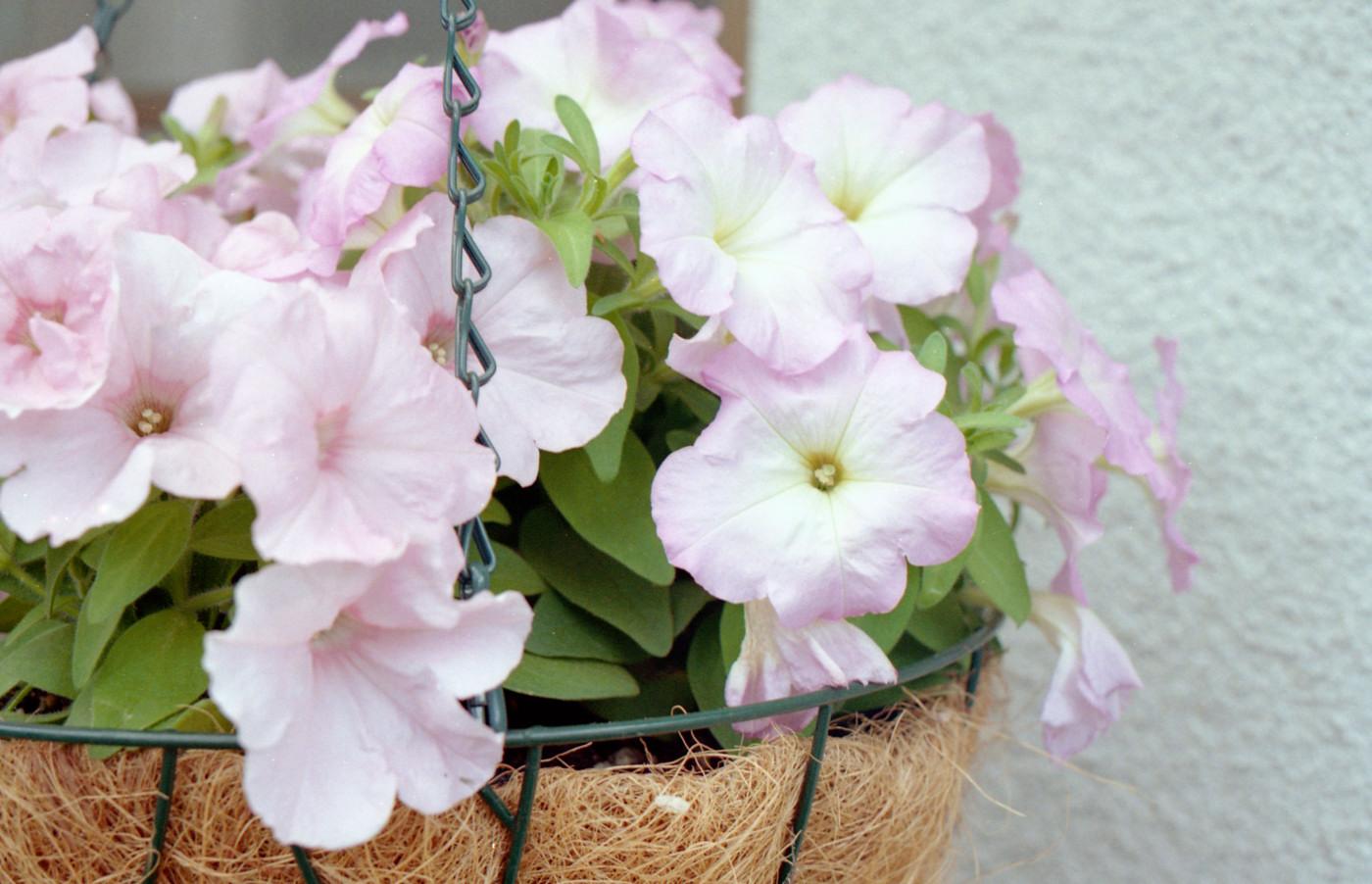 ピンクの花でゲソ