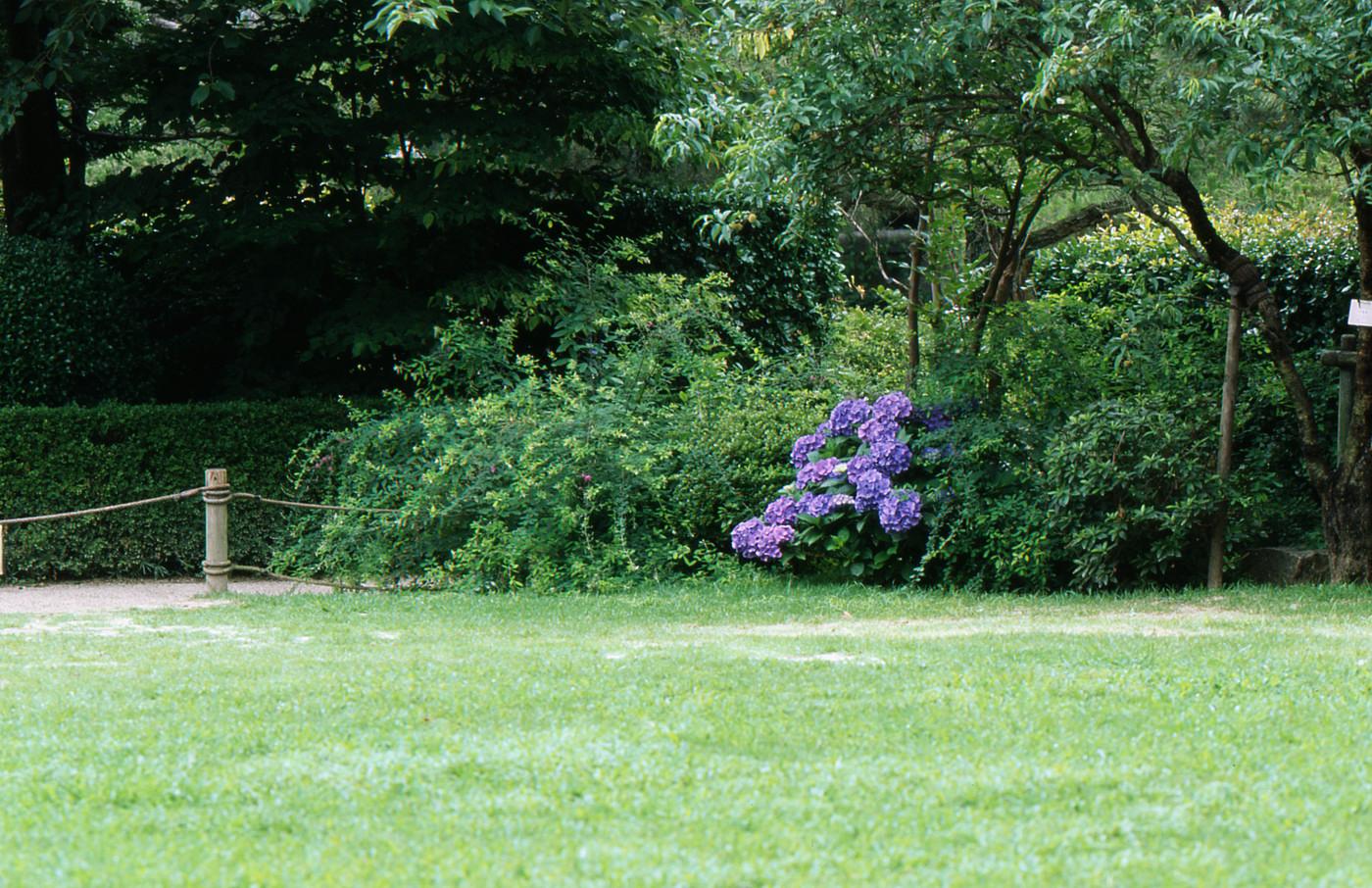遠距離紫陽花でゲソ