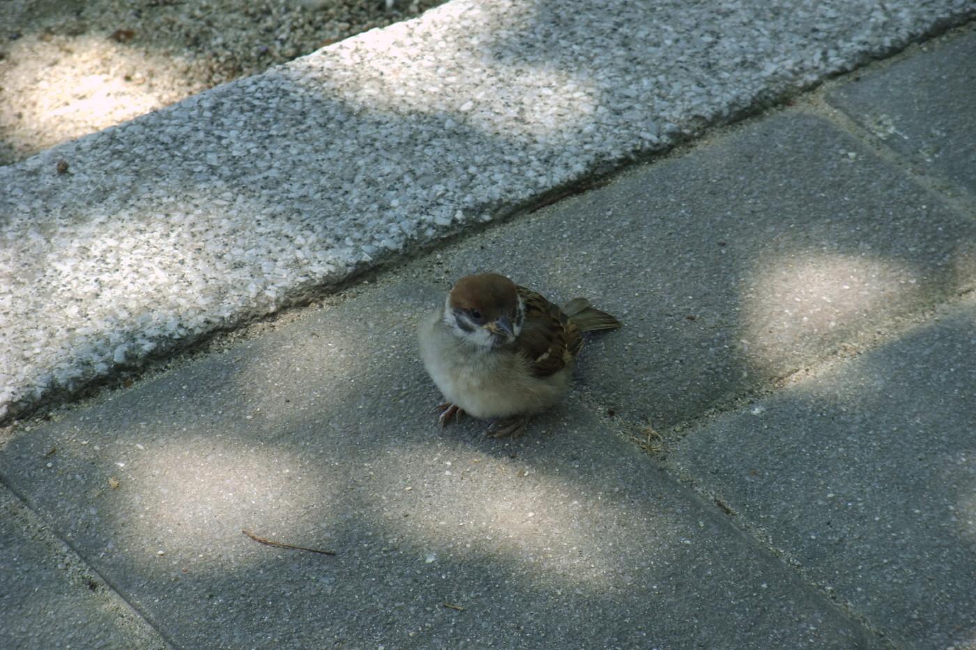 メタボな雀でゲソ